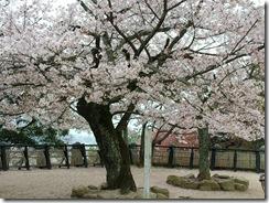 Cherry Blossom Tree at DOGO Park, Matsuyama